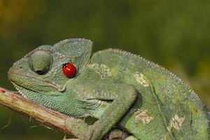 ladybug, chameleon photo