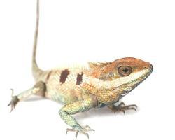 Close up chameleon isolated on white background