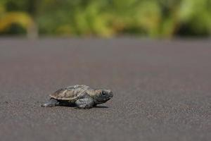Sea turtle hatchling (Eretmochelys imbricata) photo