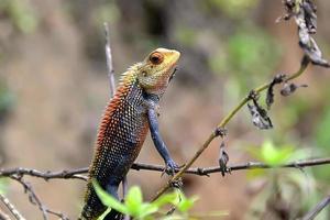 pequeño camaleón de color sentado en la fotografía de detalle de hierba foto
