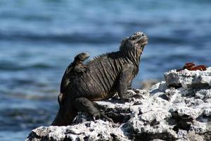 iguana marina con un bebé foto