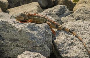 Iguana colorida (iguana iguana) tomando el sol en las rocas foto