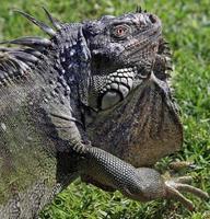 iguana verde selvagem