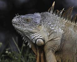 iguana de cerca