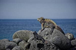 iguana marina de galápagos foto