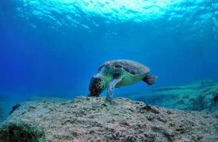 alimentation caretta