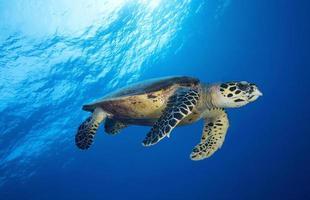HAWKBILL SEA TURTLE/eretmochtelys imbricata