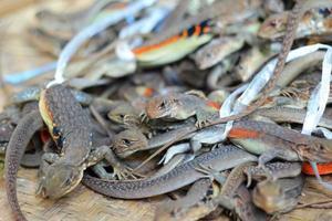 lot iguana thailand en venta foto