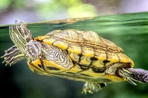tortuga marina foto