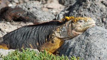Iguana de Galápagos