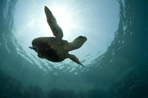 Green turtle swimming under the water
