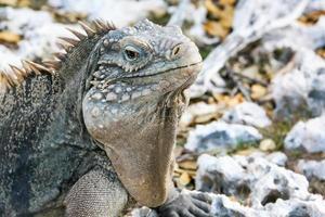 Iguana de roca foto