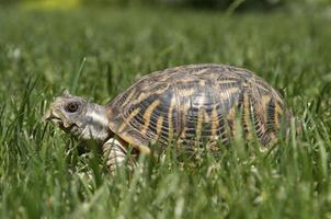 tortuga de caja occidental 04 foto