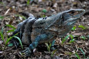 Iguana en el parque nacional santa rosa, costa rica