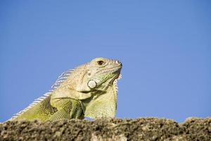 Cerca de iguana verde foto