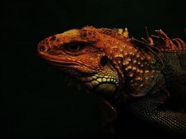 las iguanas son reptiles foto
