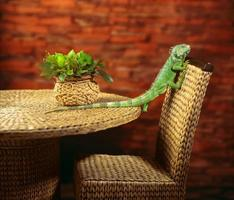 green iguana crawling on chair