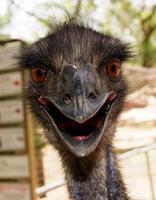close-up de avestruz