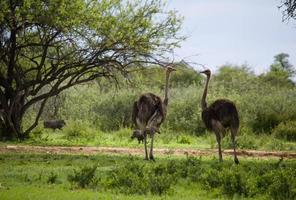 charlando avestruz