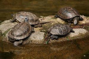 tortuga de estanque europea (emys orbicularis) foto
