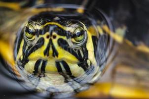 Portrait turtle