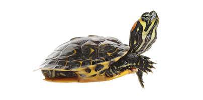 tortuga de agua foto
