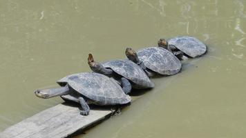 tortugas, calentándose al sol en amazonas, perú foto