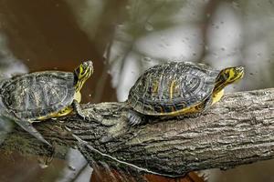 tortuga de cola amarilla foto