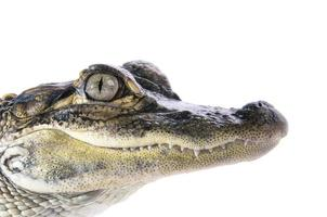 Young American Alligator photo