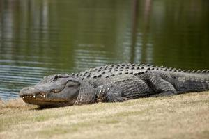 wild alligator on golf course photo