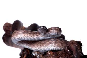 Puerto Rican boa on white backgorund photo