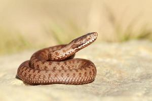 beautiful european common adder photo