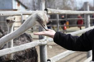 Feeding of ostrich photo