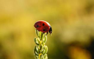 Mariquita sobre hierba.