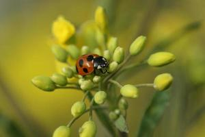 rapeseed and ladybug photo