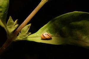 pupa de mariquita macro extrema en la hoja verde