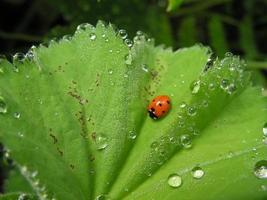 Ladybird on a green leaf photo