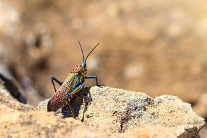 Rainbow Bush Locust