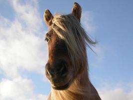 Highland Pony Isle of Rum