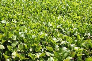 jacinto de agua