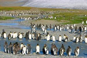 pingüinos rey joven