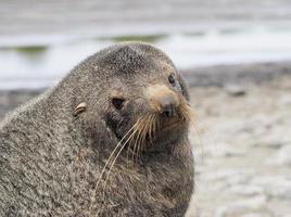 Seal in South Georgia Antarctica photo