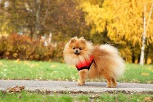 Divertido perro pomerania otoño.
