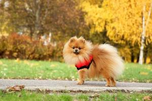 Funny autumn pomeranian dog.