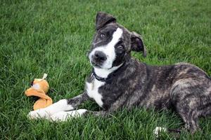 bulldog mix cachorro perro foto