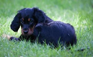 Gordon Setter Puppy laying in the green grass photo