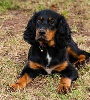 Gordon Setter Puppy laying on the ground photo