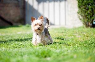 pequeno cão vira-lata no quintal
