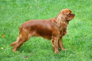 Portrait of Cavalier King Charles Spaniel on a green grass