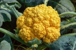Orange cauliflower photo